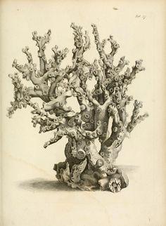 vintage coral illustration, from Exposition méthodique des genres de l'ordre des polypiers, by Jean Lamouroux, Paris, 1821