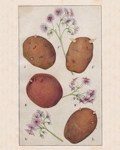 vintage botanical potato print - Redbudart Botanical Drawings, Botanical Illustration, Potato Drawing, Potato Picture, Potato Print, November Challenge, Vintage Flowers, Textbook, Tatoos