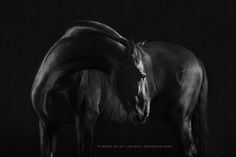 """Black Beauty"" - P.R.E. - Photo: Wiebke Haas | www.wiebke-haas.de #PRE #purarazaespanola #blackbeauty #equus# equine #equinephotography #horse #horsephotography #pferd #pferdefotografie"