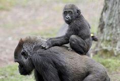 La gorila Kuchi transporta en su espalda a su hijo de dos años Henry en su espacio del zoo de Atlanta, Estados Unidos.