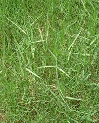 Find out how to control torpedo grass weeds in your yard.