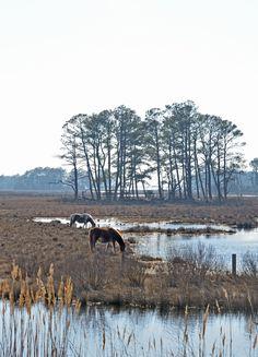 Ponies - Chincoteague Island