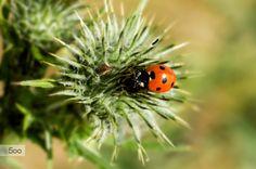 ladybug by Horst Buttkau on 500px