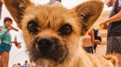 Remember Gobi, the little dog adopted by a marathon runner in China? She's missing while awaiting transport to him in the UK!