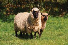 Llanwenog Ibex Goat, Alpacas, Corgis, Homesteading, Sheep, Goats, Knowledge, Knitting, Animals