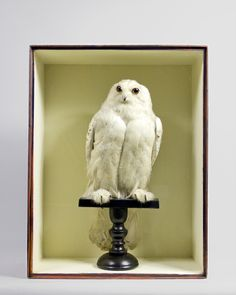 A gorgeous adult Snowy Owl. Visit ayreandco.com for more details.  http://www.ayreandco.com/taxidermy-snowy-owl-4-5646.phtml