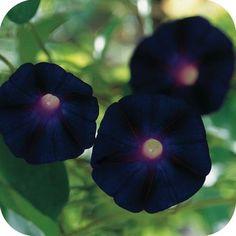 Morning Glory Kniolas Black 10 Seeds- Show Stopper Morning Glory Vine, Morning Glory Flowers, Morning Glories, Black Flowers, Beautiful Flowers, Garden State Plaza, Strange Flowers, Unusual Flowers, Gothic Garden