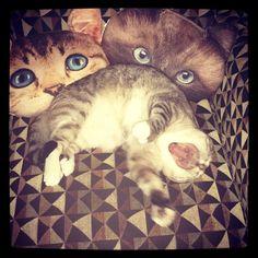 Jack  #polydactyljack #jackthepolydactylcat