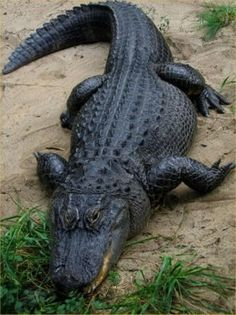 What's the difference between alligators and crocodiles? Check out our complete alligator vs crocodile guide to get the answer once and for all. Les Reptiles, Reptiles And Amphibians, Mammals, Alligators, Crocodile Marin, Animals Beautiful, Cute Animals, Wild Animals, Nocturnal Animals