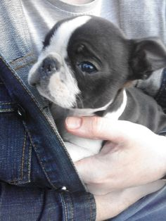 My Boston Terrier Pup!