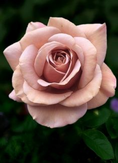 Blumig ⚜ Romantique Rose ⚜ Issues to Contemplate Earlier than Looking for Wedding cere Beautiful Rose Flowers, Flowers Nature, Exotic Flowers, Beautiful Flowers, Blush Roses, Pink Roses, Lavender Roses, Tea Rose Garden, Secret Gardens