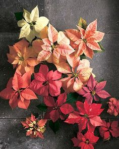 In the winter months, who wants to brave the cold for flowers? When it's cold outside, these crepe paper poinsettias create a warm, festive welcome for your holiday party guests. You can also use them as gift-toppers and decorations for your Christmas tree.