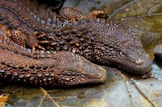 The earless monitor lizard (Lanthanotus borneensis) is one of the most elusive and rarest lizards in the world. They are endemic to the island of Borneo.
