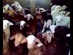 Good määäääärning! :)))  Fantastic, uplifting lamb/goat choir that will make your day. ♥