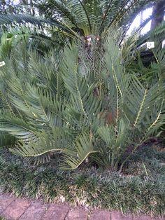 E.dolomiticus 2015 Sago Palm, South Africa, Garden Ideas, Cactus, Heaven, Home And Garden, Gardening, Pretty, Plants