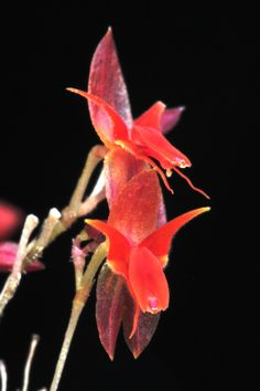 Miniature-orchid: Lepanthes valerioi - Flickr - Photo Sharing!