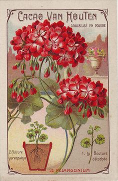 Geraniums vintage seed packet art Odd thing is that it is advertised by Cacao Van Houten a chocolate company I thought