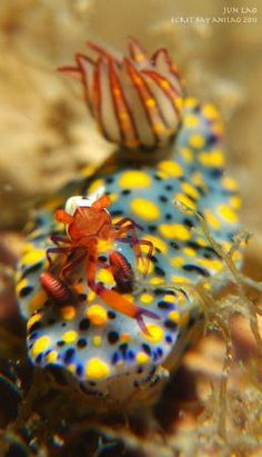 Little crab on a nudibrach. By Yagit Diver