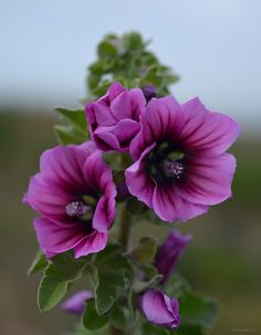 Annual Mallow (Malope Trifida) - Another beautiful purple flower for you, Mom. You will be missed this holiday season.