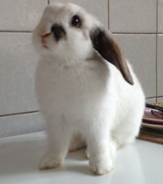 Rabbit called SIEP