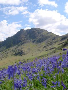 Bluebells on Haystacks, Lake District Photo by Michael Turner