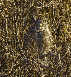 This Great Horned Owl (Bubo virginianus) http://www.allaboutbirds.org/guide/great_horned_owl/id