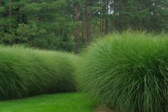Miscanthus 'Morning Light' Grass hedge - looks fab. Adds movement to the garden and feathery texture. Super drought tolerant. Evergreen.