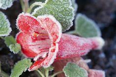 Werden Ihre Kübelpflanzen von nächtlichem Frost überrascht, kann ein Frostschaden die Folge sein. Wer rechtzeitig Notfallmaßnahmen ergreift, kann seine Pflanze aber noch retten. #frostschaden #kuebelpflanzen #frost #winter #tipps