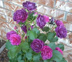 Ebb Tide Rose