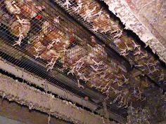 Animals Australia - footage of a chicken farm. A battery cage facility in regional NSW — a contractor to Pace Farm.