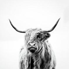 Highland Cow Canvas, Highland Cow Art, Highland Cattle, Highland Cow Tattoo, Scottish Highland Cow, Scottish Highlands, Highland Cow Painting, Cow Wallpaper, Madonna