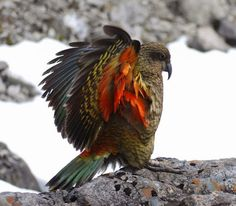 Our Bird of the Day is a Kea source distractify.com  These are the only alpine parrots in the world and are found on the south island of New Zealand. They are large parrots known for their intelligent and inquisitive nature.