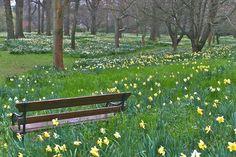 Daffodil Woodlands.