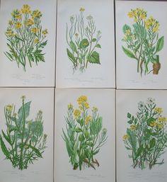 Lot of 6 Pratt Antique Chromolithograph Flowering Plant Prints Mustard Botanical