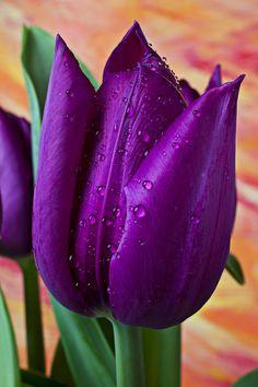 Purple Tulip Photograph  - Purple Tulip Fine Art Print