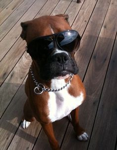 Tough looking Boxer, of course they look tough without the chain and shades
