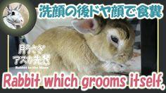 洗顔の後ドヤ顔で食糞【ウサギのだいだい 】 Rabbit which grooms itself. 2016年2月29日