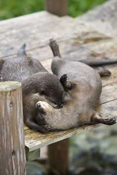 Otter pretends to be a vampire - May 21, 2012