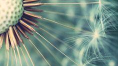 Partial Dandelion Seed Head | Free Mac Wallpapers Download