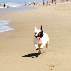 French Bulldog at the Beach, via Batpig & Me Tumble It