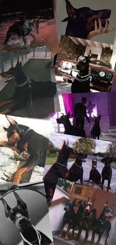 Perro Doberman Pinscher, Doberman Dogs, Baby Animals, Cute Animals, Scary Dogs, Blue Aesthetic Pastel, Loyal Dogs, Little Pigs, Beautiful Creatures