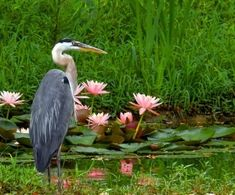 West ~ Great Blue Heron by victoria