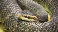 Water Moccasin: A venomous snake, and species of pit viper, found in the southeastern United States. Also called Cottonmouth. Survival Life, Wilderness Survival, Survival Gear, Survival Skills, Survival Stuff, Sea Snake, Coral Snake, Water Moccasin Snake, Oklahoma