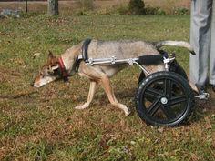 Murray the Coyote in his custom wheelchair from Eddie's Wheels