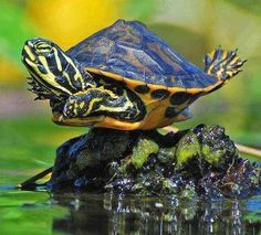 I believe I can fly! Turtle, sun tan, sunning