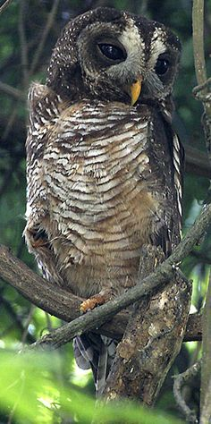 African Wood-Owl, occurs across Africa, south of the Sahel, occupying a variety of woodland & forest habitats.