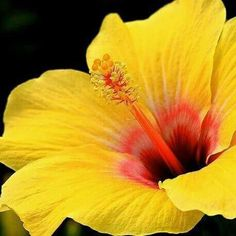 Giant Hibiscus Flower Seeds Hardy , 24 kinds, 24 Colors, DIY Home Garden potted or yard flower plant,bonsai flowers Tropical Flowers, Hawaiian Flowers, Hibiscus Flowers, Exotic Flowers, Yellow Flowers, Beautiful Flowers, Flower Seeds, Flower Pots, Hibiscus Flower Tattoos