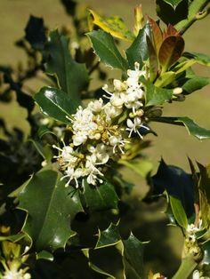Ilex_aquifolium_(flowers).jpg (2818×3759)