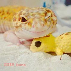 589_tomo 琥珀さんとちんまりさん✨ ちんまり枕ウィンクバージョン #leopardgecko  #ヒョウモントカゲモドキ  #爬虫類 #レオパードゲッコー  #かわいい  #いやし  2017/09/05 21:37:31