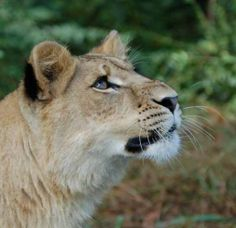 Bring a picnic, spend the afternoon with us and make sure you say hello to Liberty the lioness! She's very photogenic, loves to see people and is really funny!  #Liberty #Lion #NoahsArk  www.noahs-ark.org